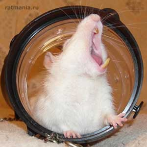 Зевающая крыса и ее острые зубы