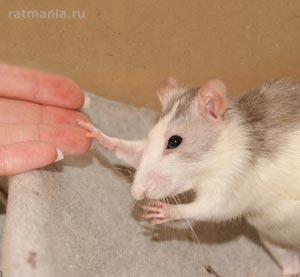 Декоративные крысы в качестве животных-терапевтов. Вывод австрийского Общество любителей крыс и «Alpha Nova».