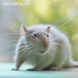 Крысиные усы - предмет исследования ученых | «Робокрыса» спешит на помощь